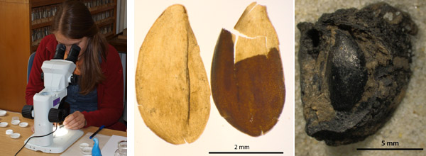 Photos by: W. Kirleis. Left: Archaeobotanical training. Middle and right: Subfossil flax seed and a charred apple.