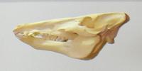 wild boar skull at GS exhibition